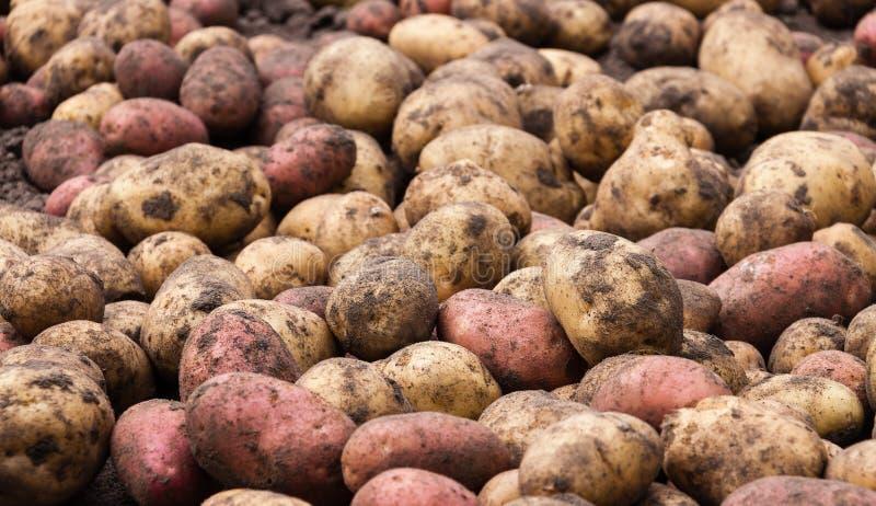 Unwashed raw fresh potatoes - food background royalty free stock photo