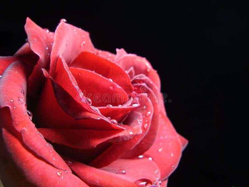 Unwiderstehliche rote Rose stockfoto