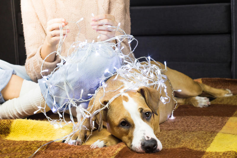 Unwrapping christmas lights with puppy royalty free stock images