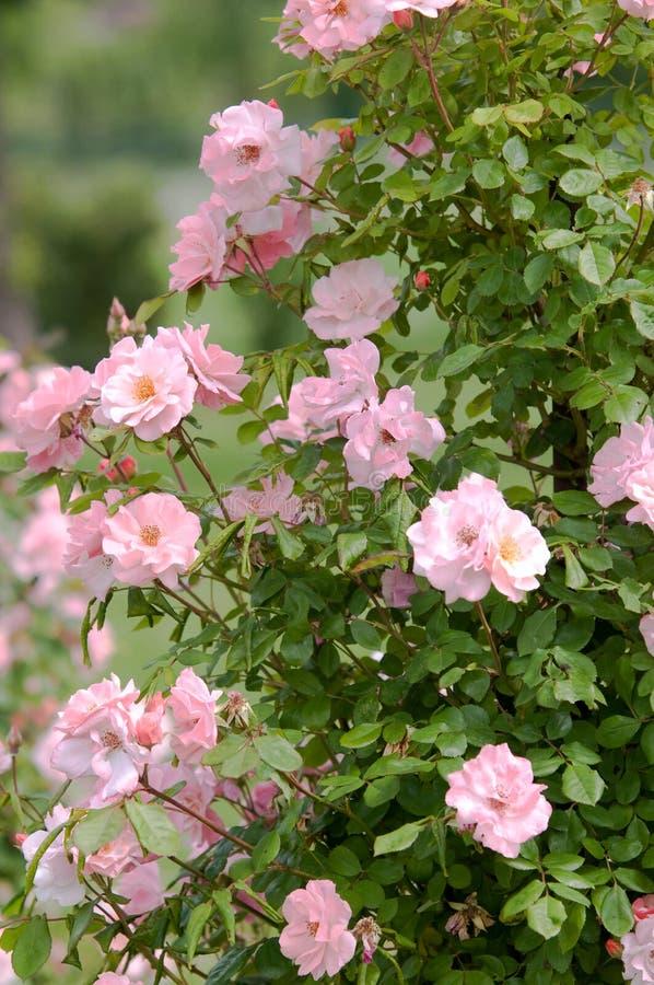 Unzählige Blüte des Kletterns halbdoppelrosa Rose Clair Martin stockbild