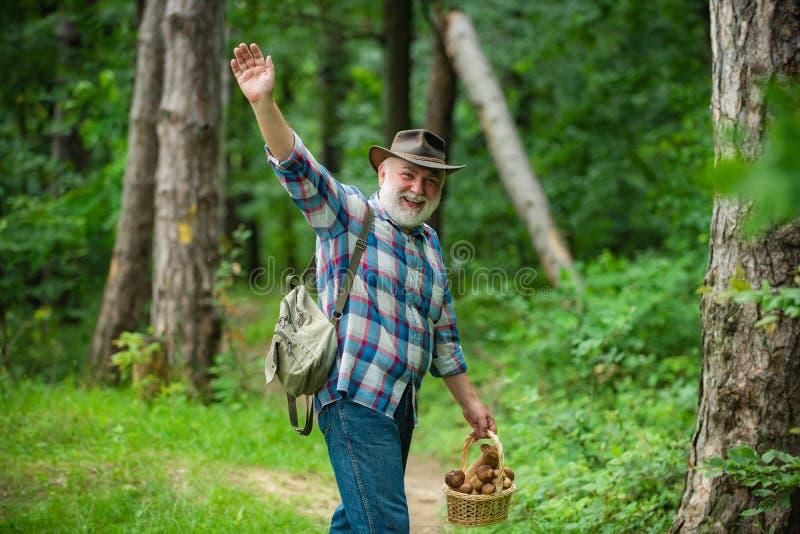 Uomo anziano che cammina nella foresta che seleziona i funghi Fungo nella foresta, uomo senior che raccoglie i funghi nella fores immagini stock libere da diritti