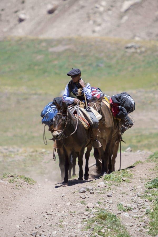 Uomo argentino ed asini che portano le borse all'Aconcagua, Arge immagine stock libera da diritti