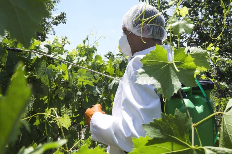 Uomo che indossa abiti da lavoro professionali e che spruzza gli antiparassitari sulle foglie dell'uva Raccolto proteggente nel g fotografia stock libera da diritti