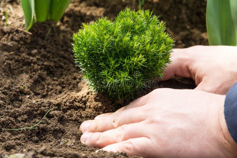 Uomo che pianta arbusto conifero fotografia stock libera da diritti