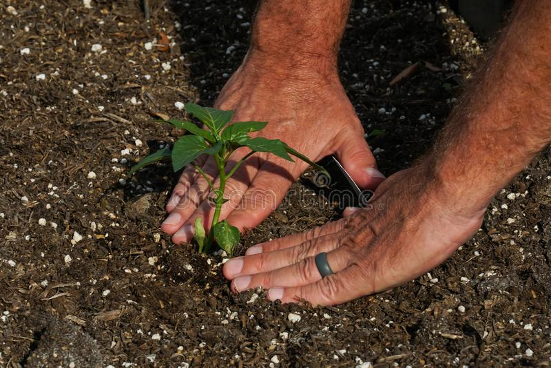 Uomo che pianta una piantina del peperone verde fotografia stock