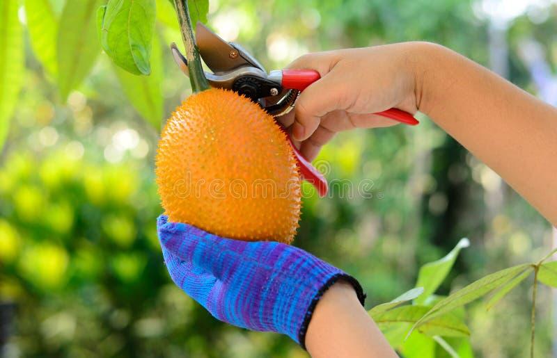 Uomo che raccoglie la frutta del gac fotografia stock