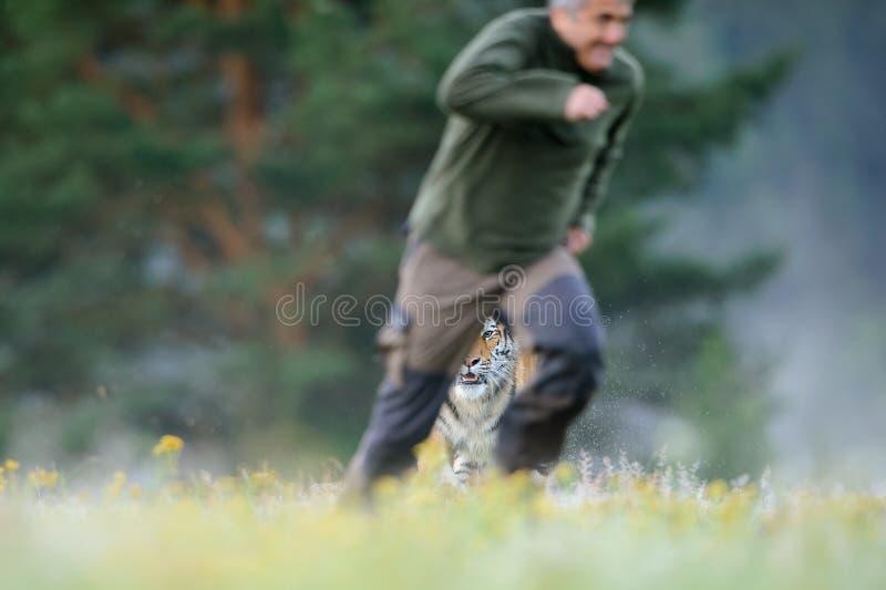 Uomo che si esaurisce prima della tigre fotografia stock libera da diritti