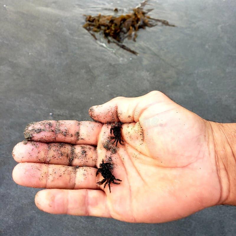 Uomo che tiene granchi i piccoli di una sabbia immagini stock
