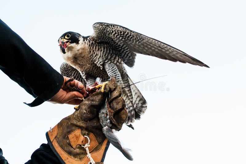 Uomo che tiene un falco prima del usando per cercare gli uccelli in una foresta immagine stock