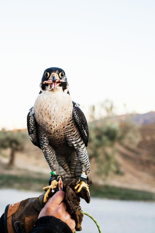 Uomo che tiene un falco prima del usando per cercare gli uccelli in una foresta immagine stock libera da diritti