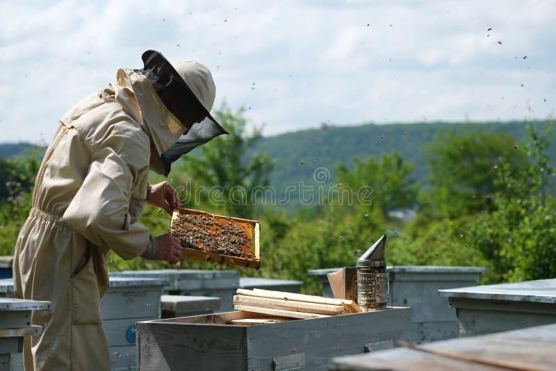 Uomo che tiene un favo in pieno delle api Apicoltore in abiti da lavoro protettivi che ispezionano struttura all'arnia fotografia stock