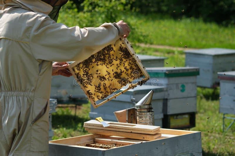 Uomo che tiene un favo in pieno delle api Apicoltore in abiti da lavoro protettivi che ispezionano struttura all'arnia immagine stock