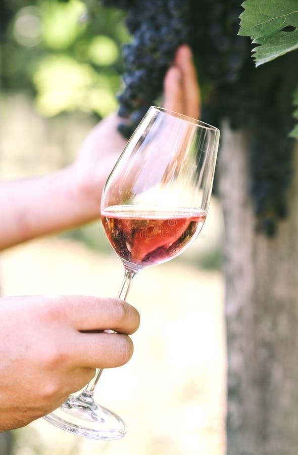 Uomo che tiene vetro di vino rosso nel campo della vigna Assaggio di vino nella cantina all'aperto fotografie stock