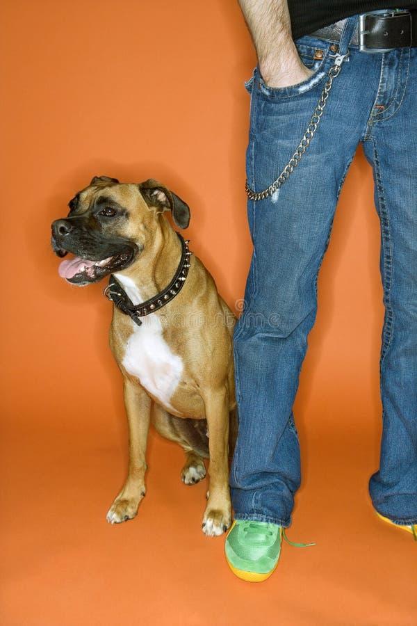 Uomo con la mano in casella con il cane del pugile. fotografia stock libera da diritti