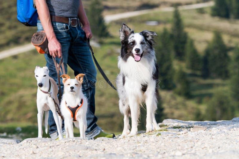 Uomo con tre cani mentre facendo un'escursione immagine stock libera da diritti