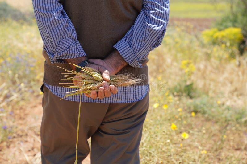 Uomo dell'agricoltore o dell'agricoltore che tiene alcune orecchie del grano fotografia stock