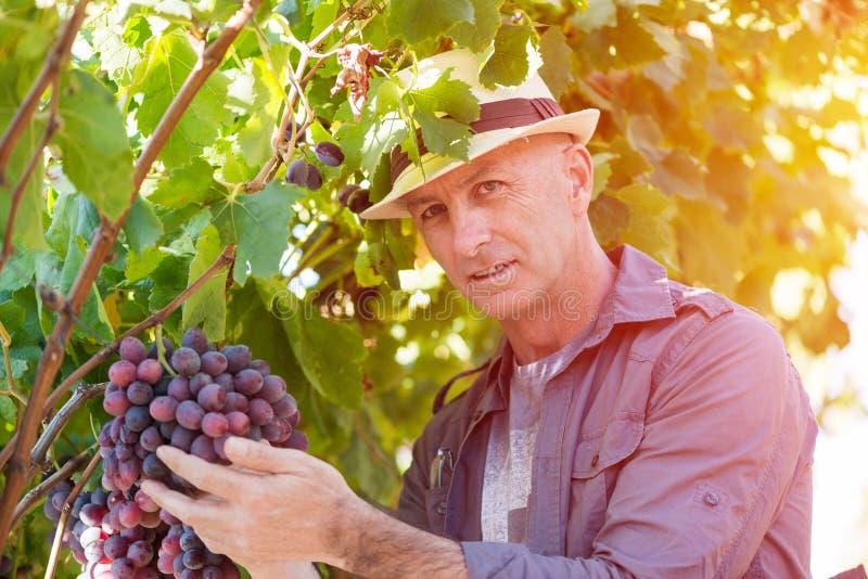 Uomo dell'enologo in uva d'esame del cappello di paglia fotografie stock libere da diritti