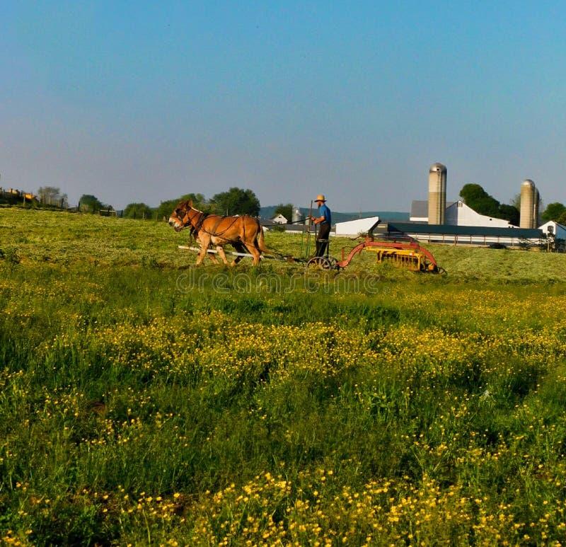Uomo di Amish che ara un campo con un gruppo dei muli immagine stock libera da diritti