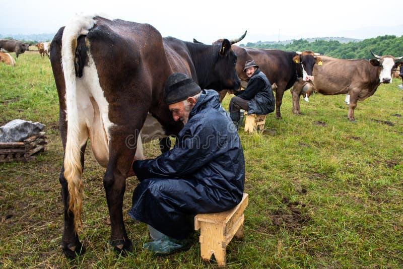 Uomo di latte dal lato del paese, mungente a mano le tecniche per le mucche immagine stock libera da diritti