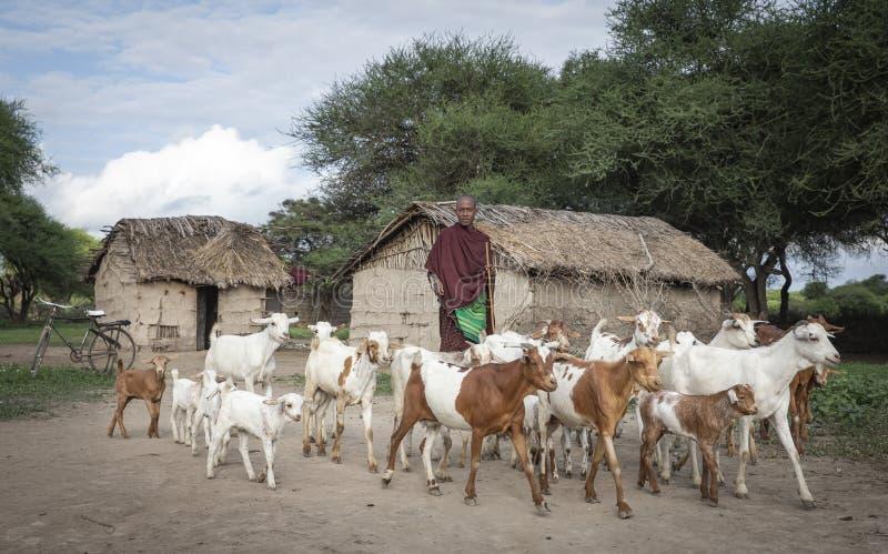 Uomo di Maasai che raduna le sue capre immagine stock