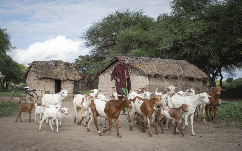 Uomo di Maasai che raduna le sue capre fotografia stock libera da diritti