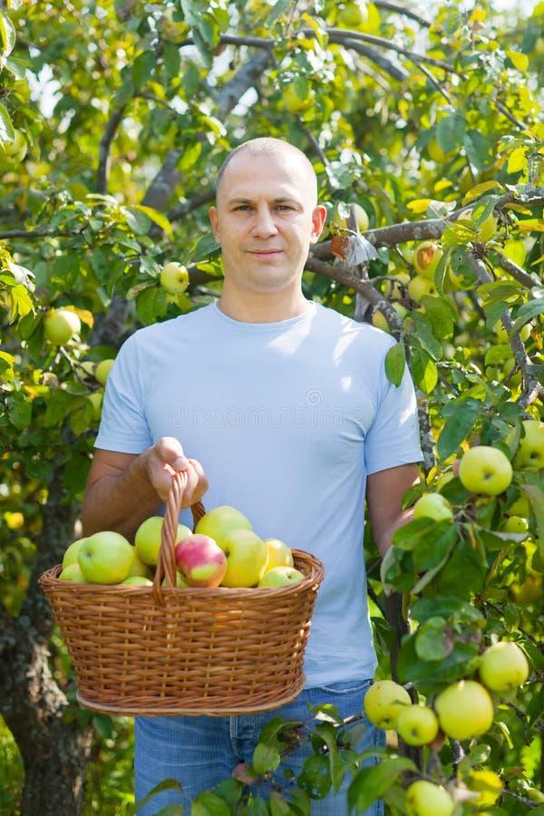 Uomo di mezza età con il raccolto della mela immagine stock libera da diritti