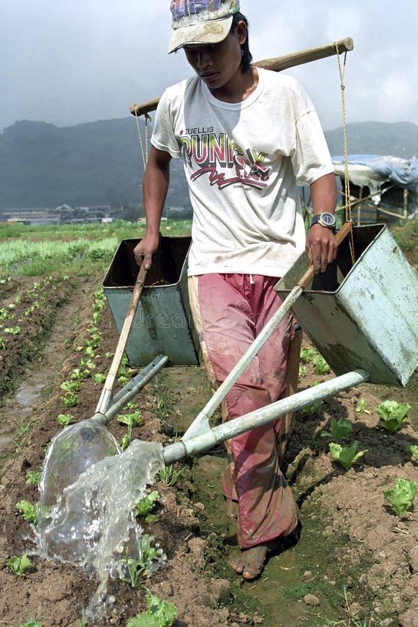 Uomo filippino e piante di verdure di irrigazione giovani fotografia stock