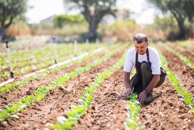 Uomo maturo negli impianti uniformi in una serra Il lavoratore esamina le piante fotografia stock libera da diritti