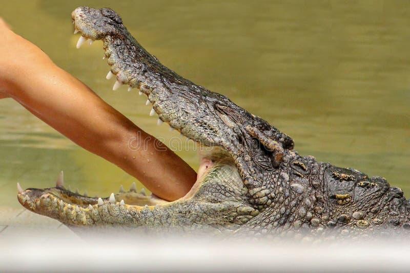 Uomo messo dell'Asia della mano nel coccodrillo laterale della bocca immagini stock