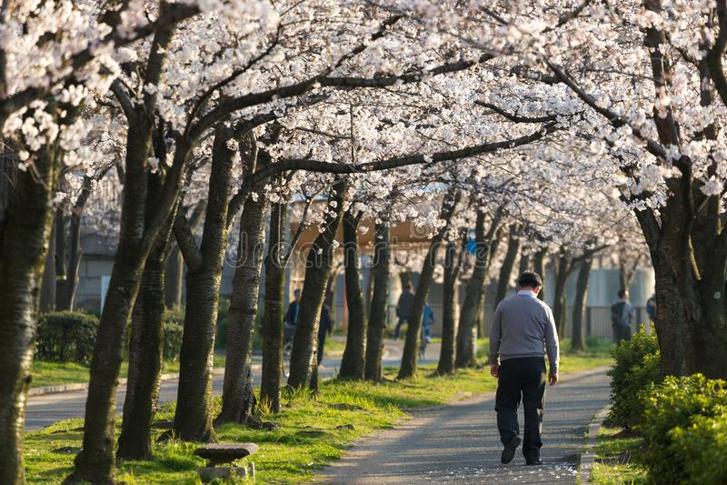 Uomo solo che cammina lungo il fiore del ciliegio immagini stock