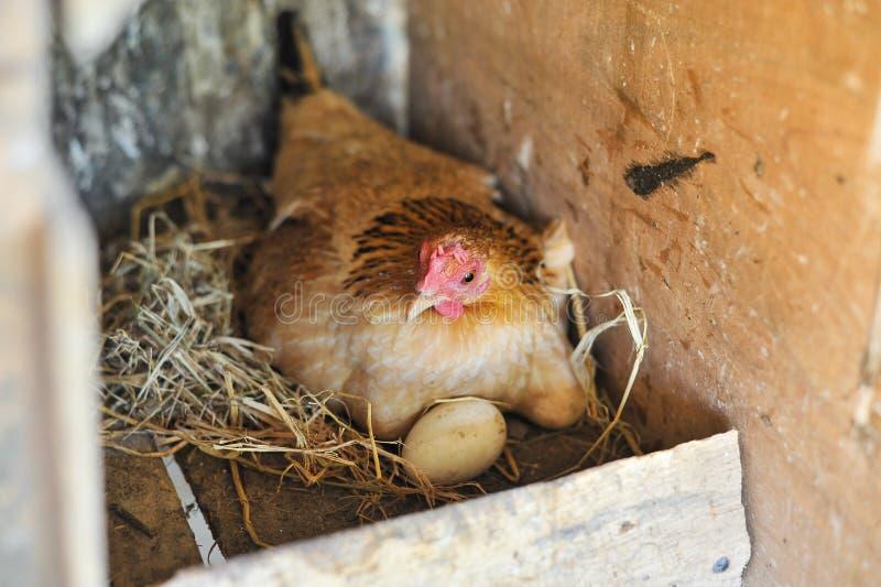 Uova da cova del pollo immagine stock libera da diritti