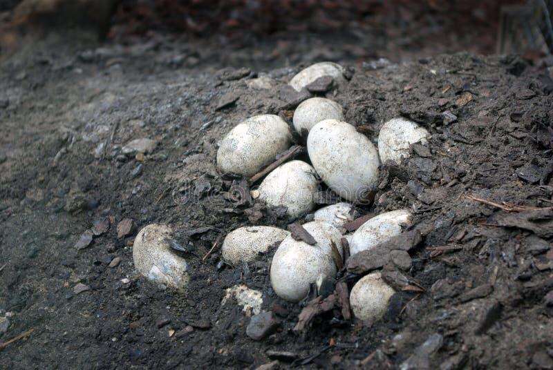 Uova del coccodrillo di Caymen fotografia stock libera da diritti