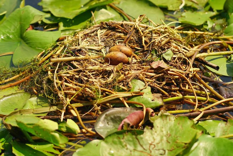 Uova del gabbiano nel nido fotografia stock