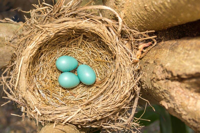 Uova del ` s di Robin dell'americano e nido II fotografie stock libere da diritti