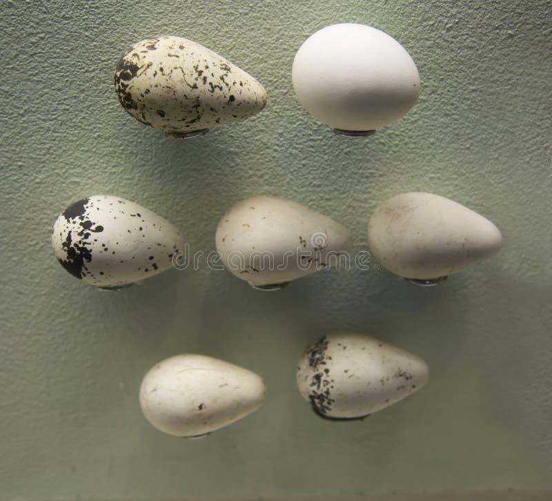 Uova dell'uccello Kyra sullo sfondo della parete di scarico Uccelli, ornitologia immagini stock libere da diritti