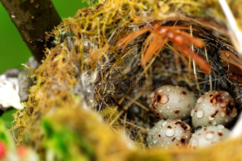 Uova dell'uccello in nido immagine stock libera da diritti