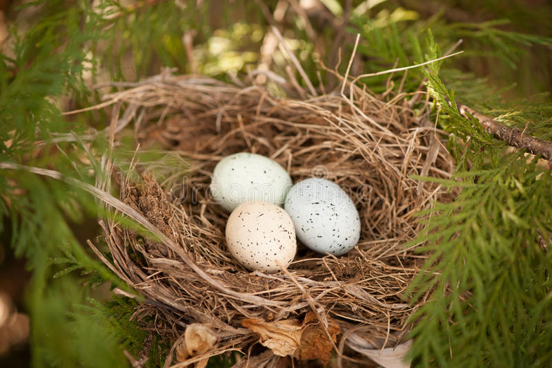 Uova dell'uccello in un nido fotografia stock libera da diritti