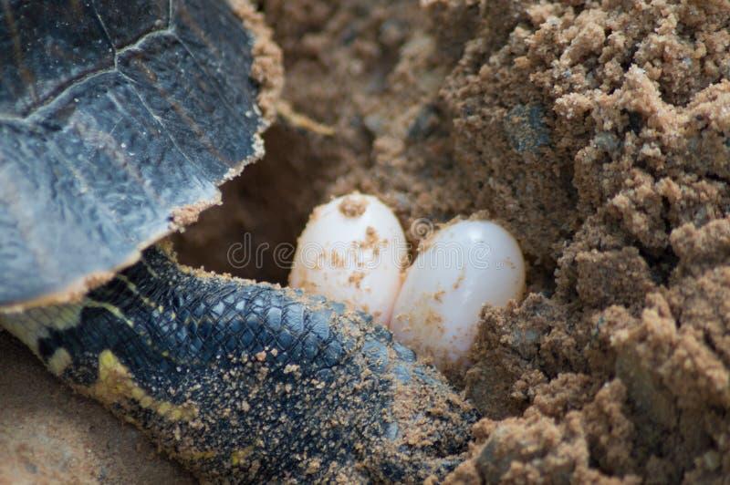 Uova della tartaruga fotografia stock
