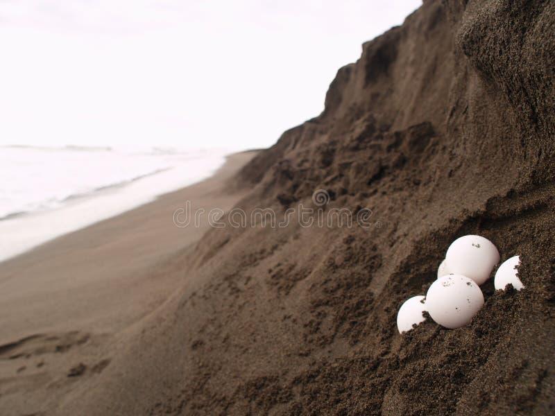 Uova della tartaruga di mare fotografie stock