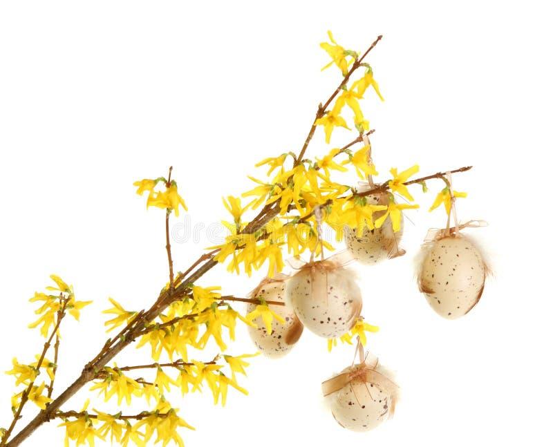 Uova di Pasqua Sulle filiali di forsythia fotografia stock libera da diritti