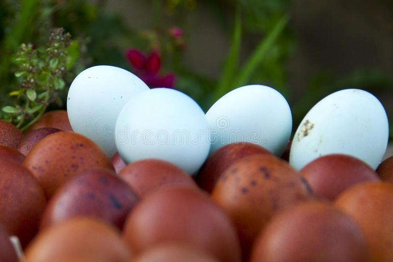 Uova ecologiche naturali di colore marrone e blu immagini stock libere da diritti
