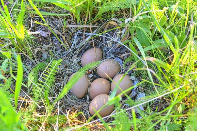 Uova femminili del fagiano Nido abbandonato con le uova femminili del fagiano fotografia stock libera da diritti