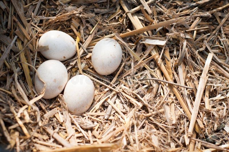 Uova nel nido immagini stock