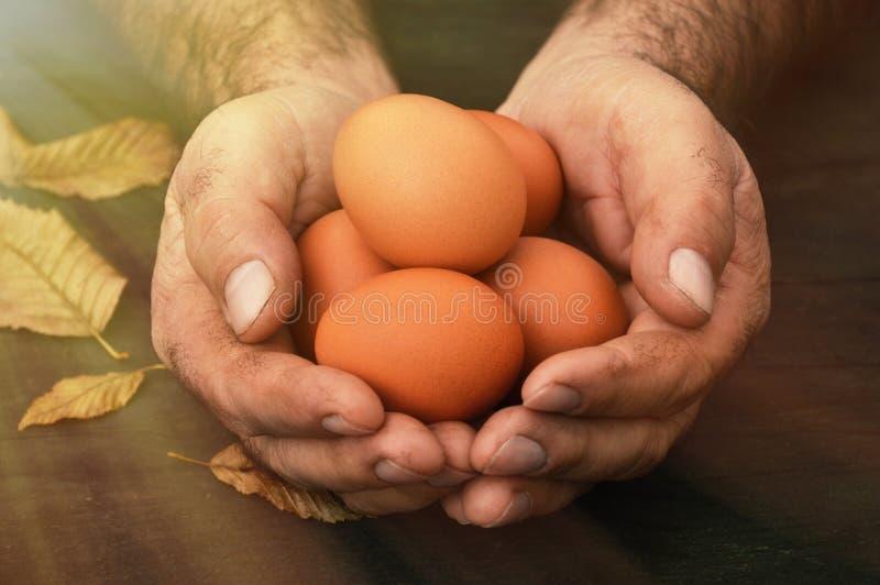Uova organiche, vecchie mani dell'agricoltore che tengono le uova organiche immagine stock libera da diritti