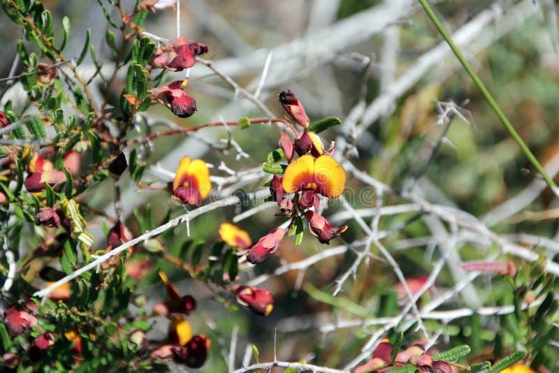 Uovo di Pultenaea Skinnerii e pianta della pancetta affumicata fotografia stock libera da diritti