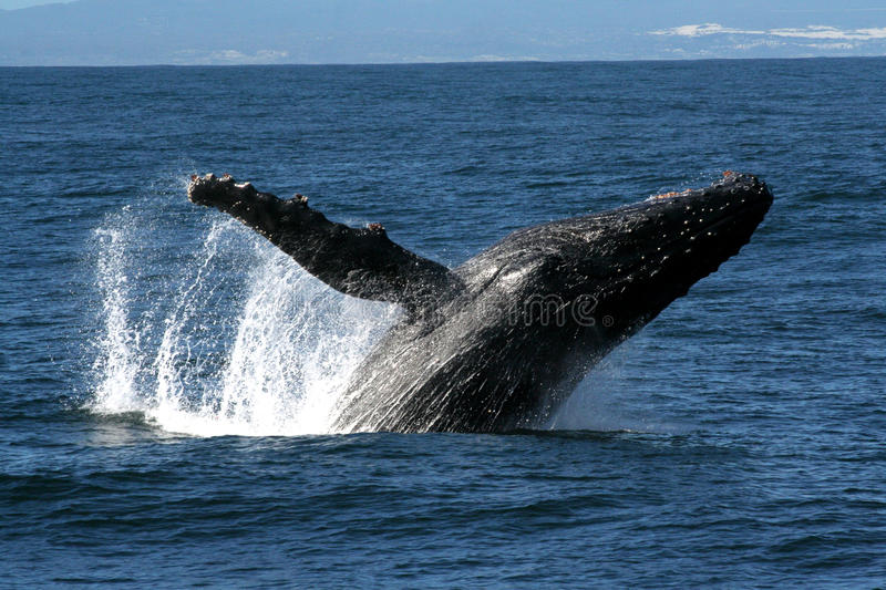Up and away. Humpback Whale Breaching near Hermanus, South Africa