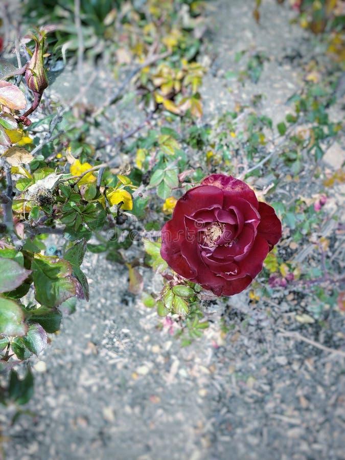 Up close Crimson Rose. Beautiful wild red crimson rose stock photos