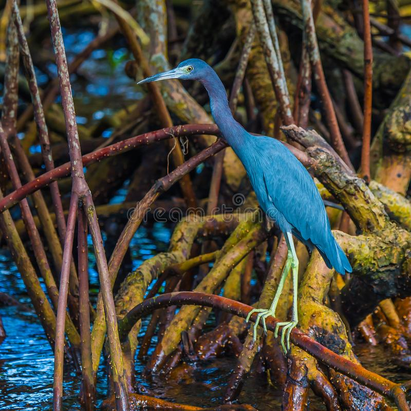 Up Close with A Little Blue Heron in the Mangroves stock image
