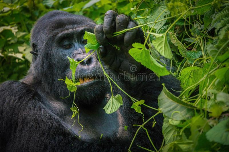 Up close look at the face of a silverback mountain gorilla as he chews on leaves. A close-up of a mature silverback mountain gorilla chewing a vine with his stock photography