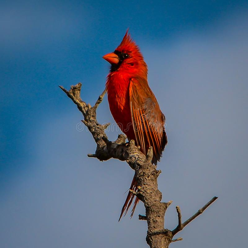 Up Close with a Male Cardinal. A close up of a male cardinal perched on the top of a dead tree as the sunlight brightens the details of his beautiful feathers stock image